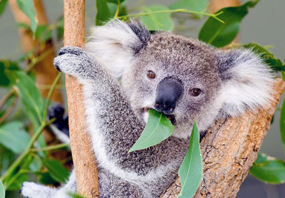 Koala and Eucalyptus Leaves
